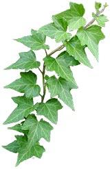 Ivy-cutout2