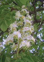 220px-Aesculus hippocastanum flori