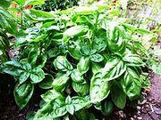 Basil-Basilico-Ocimum basilicum-albahaca