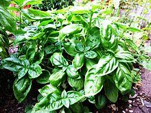 File:Basil-Basilico-Ocimum basilicum-albahaca.jpg