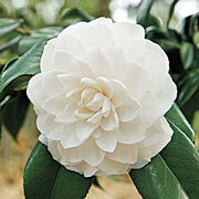 Camellia-w