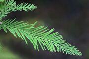 CypressBaldLeaf01