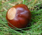 Buckeye-tree-nut-lg