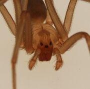 Loxosceles reclusa adult male 4