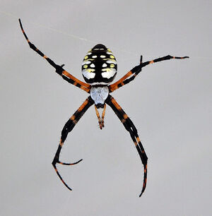 587px-Spider b1