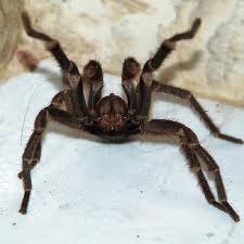 File:Defense tarantula.jpg