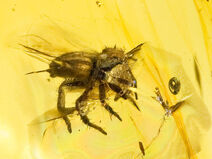 800px-Jumping spider in amber