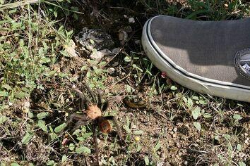 Austin tarantula
