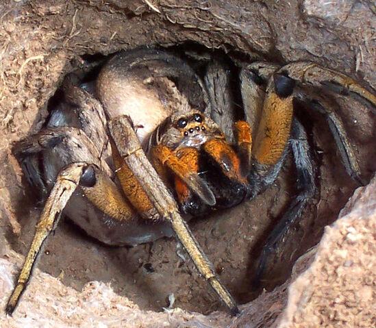 File:Wolf spider attack position.jpg