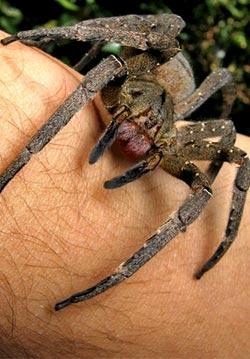 File:Brazilian wandering spider.jpg