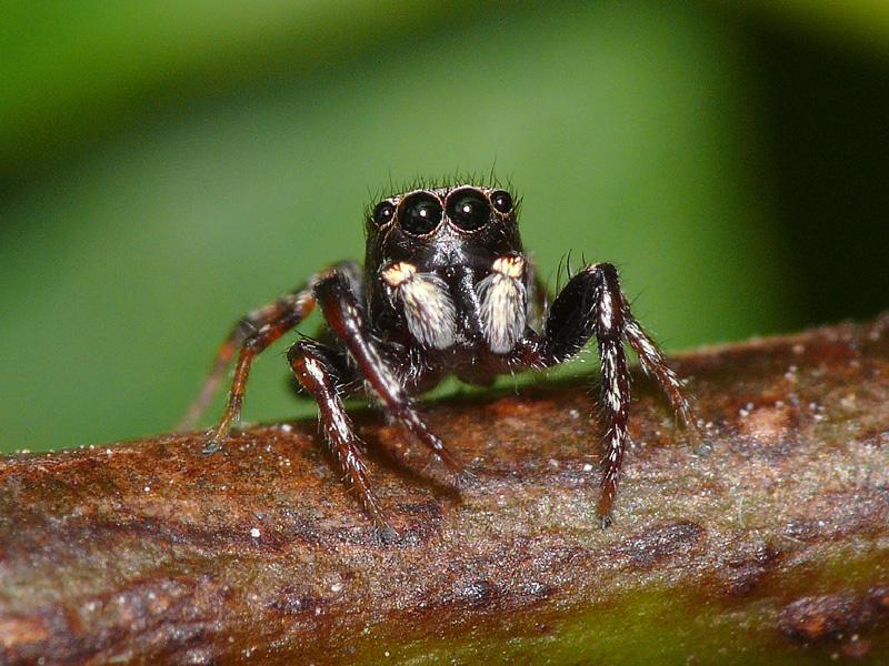 Jumping Spider Salticidae