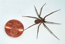 800px-Brown-recluse-coin-edit