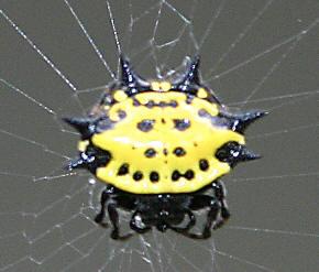 File:Crablike Spiny Orb Weaver.jpg