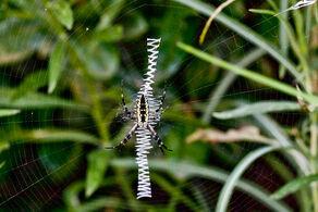 800px-Yellow garden spider zig zag web