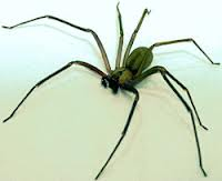 File:A brown recluse.png