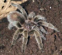File:Chilean rose taranbtula.jpg