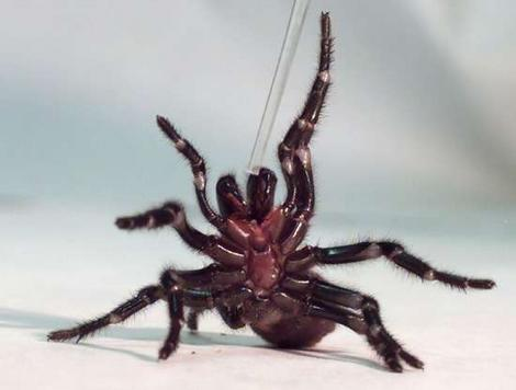 Funnel-Web-Spiders1