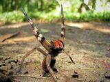 Brazilian wandering spider (Phoneutria)