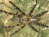 Fringed Ornamental Tarantula (Poecilotheria regalis)