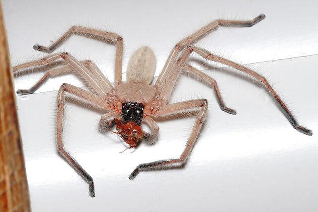 File:Huntsman spider with meal.jpg