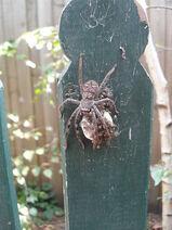 Huntsman Spider egg sac hatching 23 Jan 11