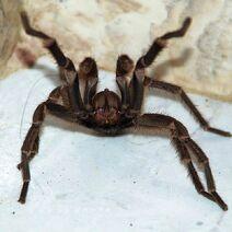 600px-Tarantula, Attacking Position, Photo by Sascha Grabow