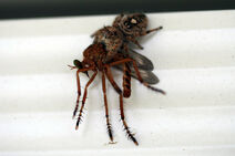 800px-Jumping Spider Eating a Mosquito