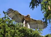 WING SPAN Red Tailed hawks fledge June 11 2010 owl twins 046