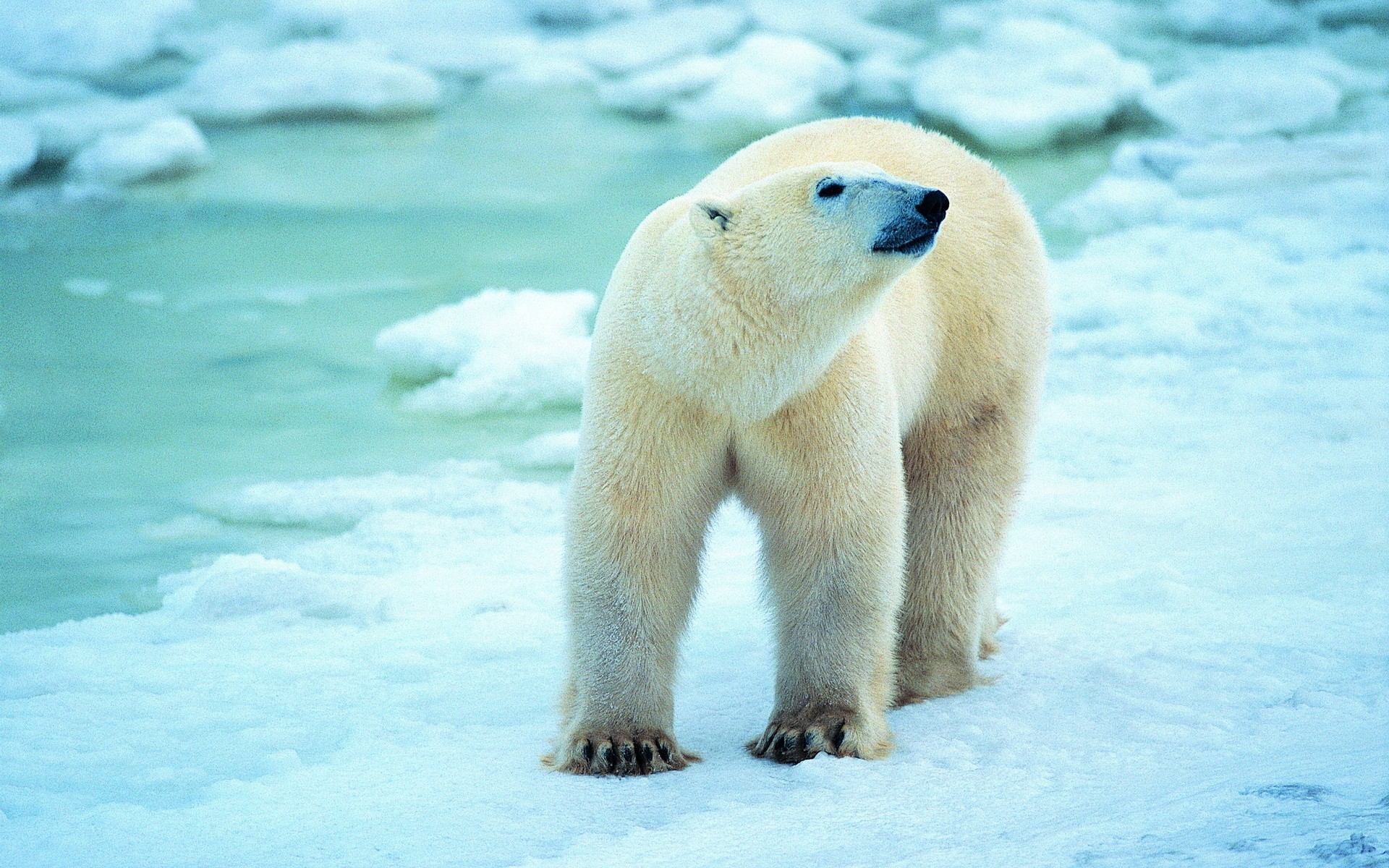 Polar Bear Spirit Animal Actionappraisal Best Wallpaper 2018