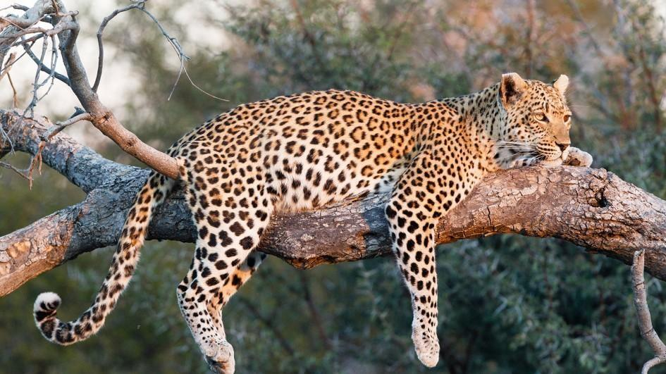 Leopard ile ilgili görsel sonucu