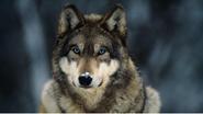 Briggan the wolf