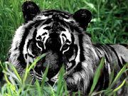 Black-Tiger