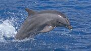Bottlenosedolphin