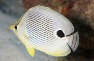 FoureyeButterflyfishReal