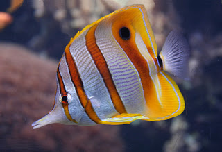 File:Real Life Copperband Butterflyfish.jpg