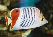 EritreanButterflyfishReal