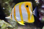 CopperbandButterflyfishReal