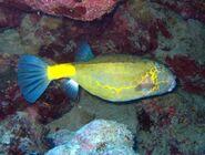 YellowBoxfishReal
