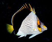 HawaiianButterflyfishReal