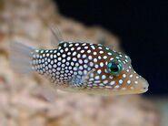 White-spottedPufferfish