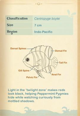 Peppermint Pygmy Angelfish§Aquapedia2