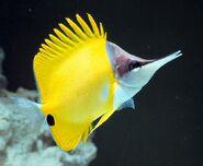 YellowLongnoseButterflyfishReal