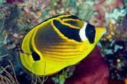 RacoonButterflyfishReal