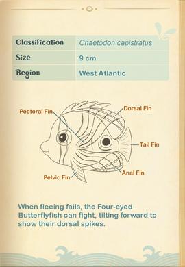 Foureye Butterflyfish§Aquapedia2
