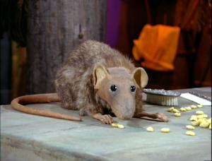 Unnamed rat
