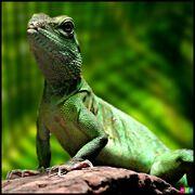 Lizard display