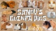 SANDY'S GUINEA PIGS