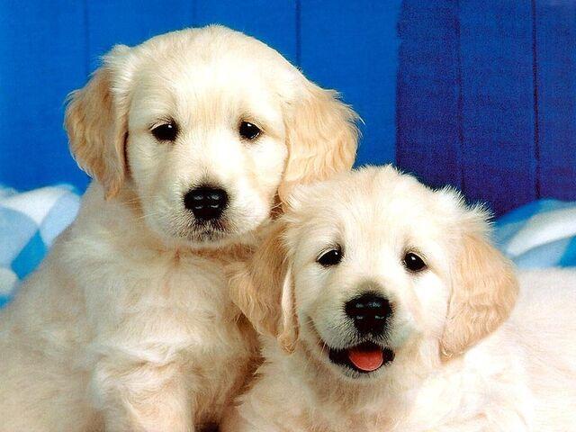 File:Cute-Dog-Wallpaper-dogs-13936376-1024-768.jpg