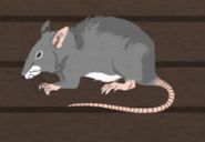 Unusually large rat
