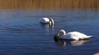 Mute Swans at RSPB Old Moor
